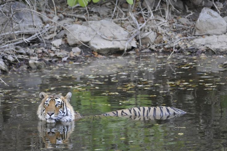 Wading Pool by Toby Sinclair Species: Tiger | Location: Kanha National Park & Tiger Reserve, India  Kanha National Park in India was once a hunting ground for imperial rulers, but today is one of India's most important conservation reserves. We encountered this tiger at the Banjaar River on the southwestern edge of the park.  Learn what WWF is doing to help protect the tiger.