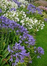 How To Plant Agapanthus And Agapanthus Care. I have a lot of agapanthus. I absolutely love this plant!