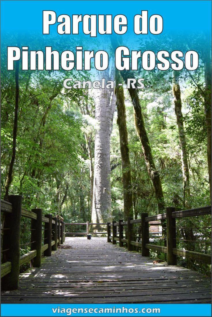 Maior Araucaria Do Mundo Parque Do Pinheiro Grosso Canela