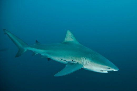 Žralok bělavý