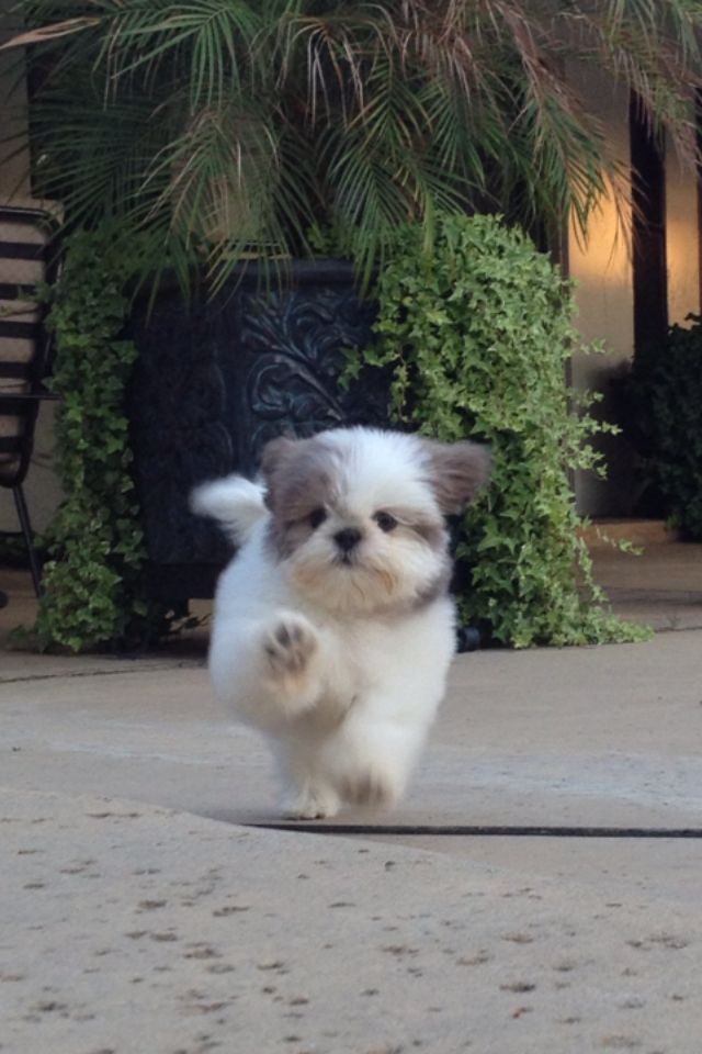Shih Tzu coming in for a kiss!