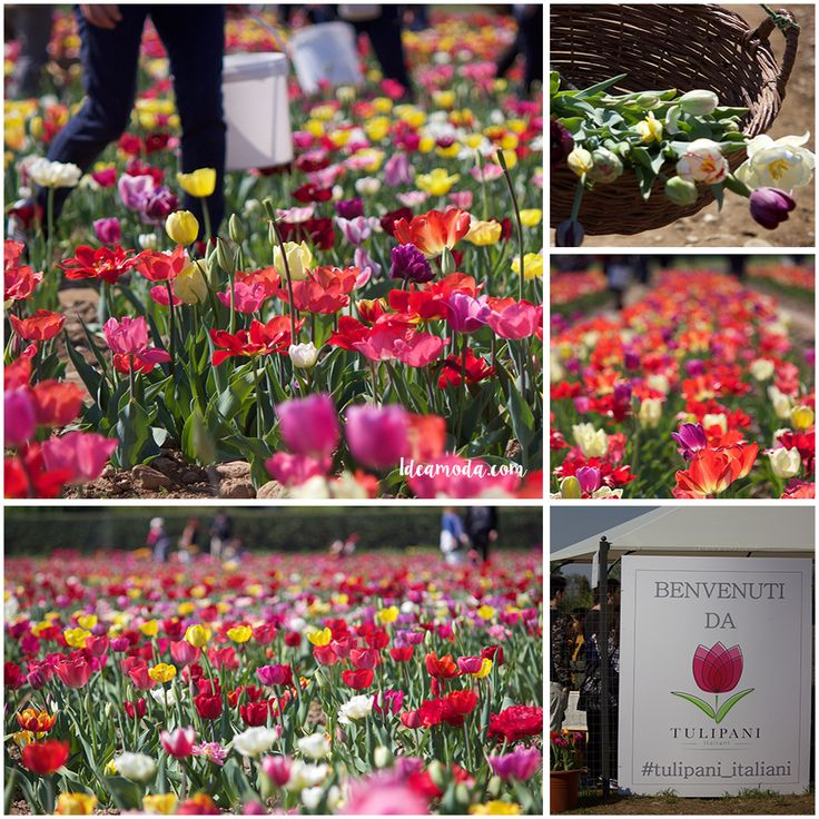 A Dutch couple has brought a bit of the Netherlands to Italy by opening a first pick up flower field in Cornaredo (MI). #tulips #tulipani_italiani #colorful #flowers #colors #italy #nearmilano