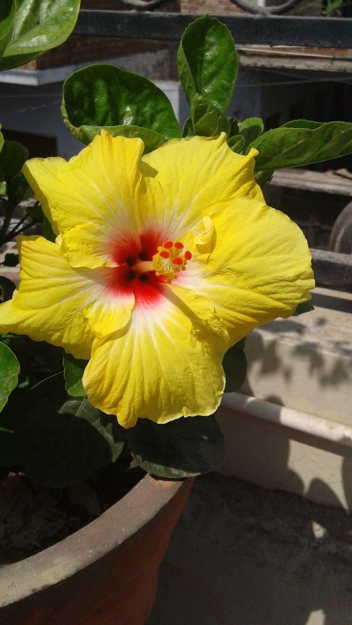 Gulhar Hibiscus Indian Plant Varieties Plants Garden Hibiscus