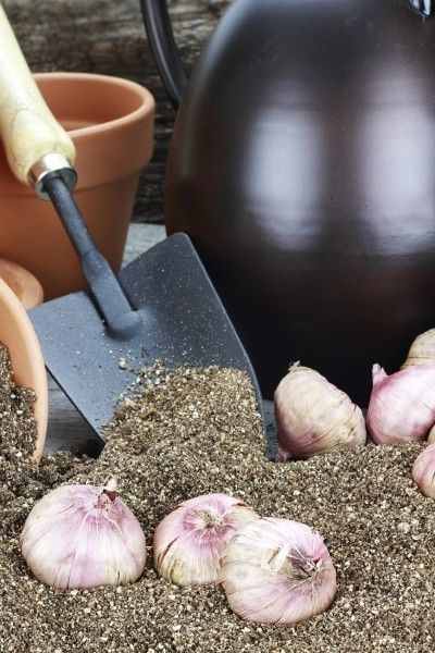 Gladiolus Winter Care - How To Care For Gladiola Bulbs During The Winter