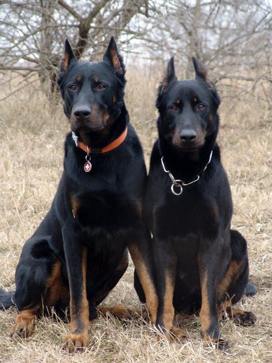 122 best images about Beauceron on Pinterest   French ...