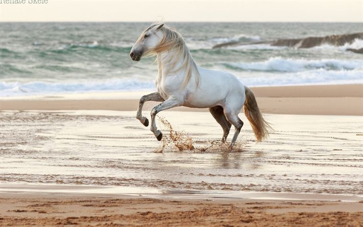 Download wallpapers white horse, coast, sea, beach, sunset, evening horse