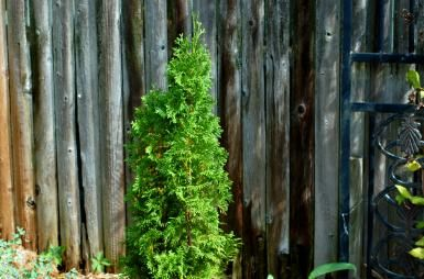 Everything You Need to Know About Using Arborvitae Trees in Landscaping: The dense, evergreen growth of arborvitae makes it tailor-made for privacy hedges.