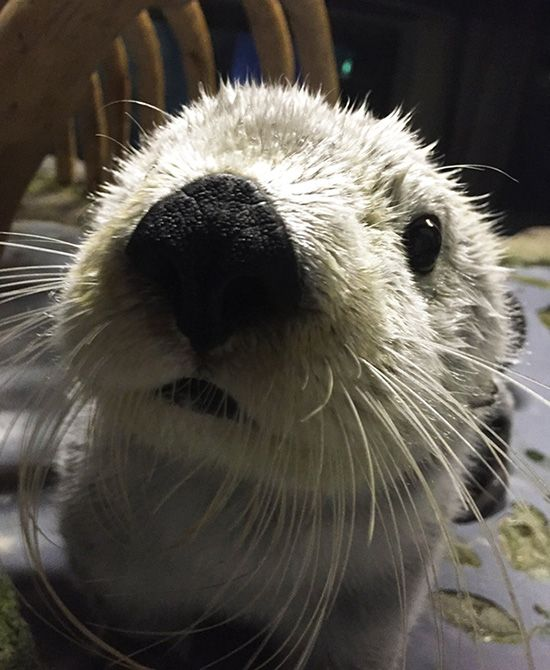 Sea otter noses right up to the camera - March 1, 2017