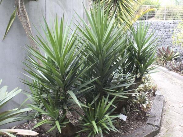 yucca elephantipes spineless yucca 1193