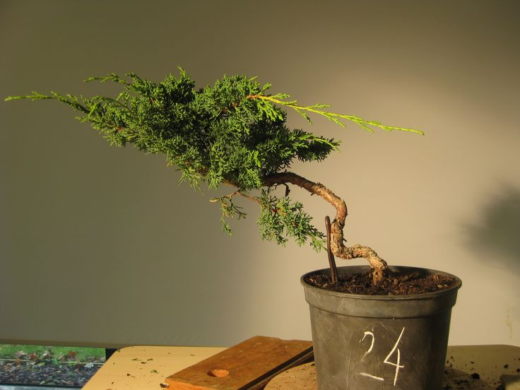 10 - Juniperus Start.... (10/2010)