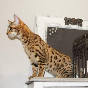 F5 Savannah Select Exotics #savannahcats #exoticcats #cats