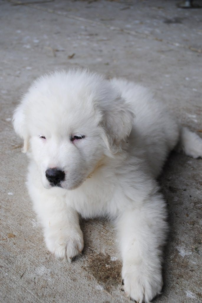 Puppy Great Pyrenees!! :D I love Great Pyrenees! There so sweet and caring! (Well about as much as a dog can be)