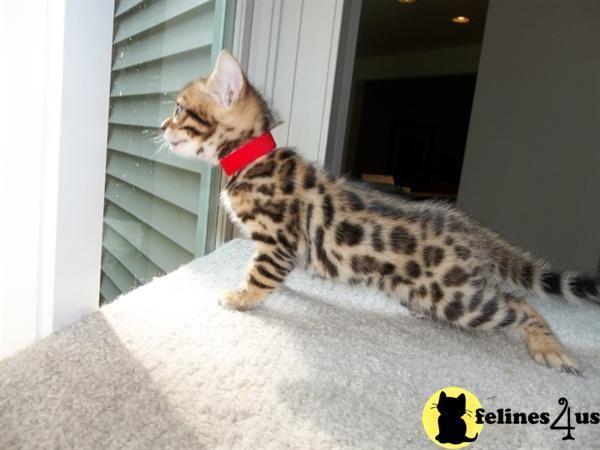 Bengal Cat Gallery Bengal Kitten Bengal Kittens For Sale Asian