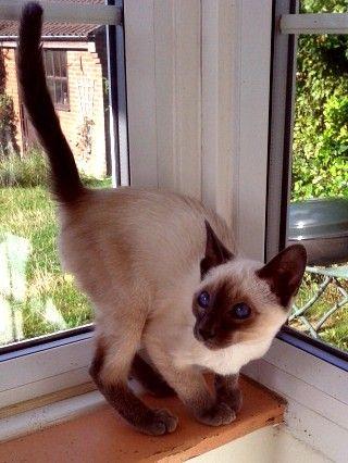 Stiltskin Siamese kittens for sale
