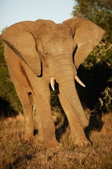 Addo Elephant National Park - Come within arm's length of Africa's gentle giants in the world famous Addo Elephant National Park, a national treasure for wildlife lovers.