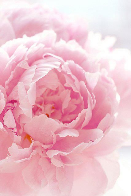pinkBeautiful Flower, Pink Flower, Soft Pink, Pale Pink, Pinkpeonies, Gardens, Pink Rose, Pink Peonies, Favorite Flower