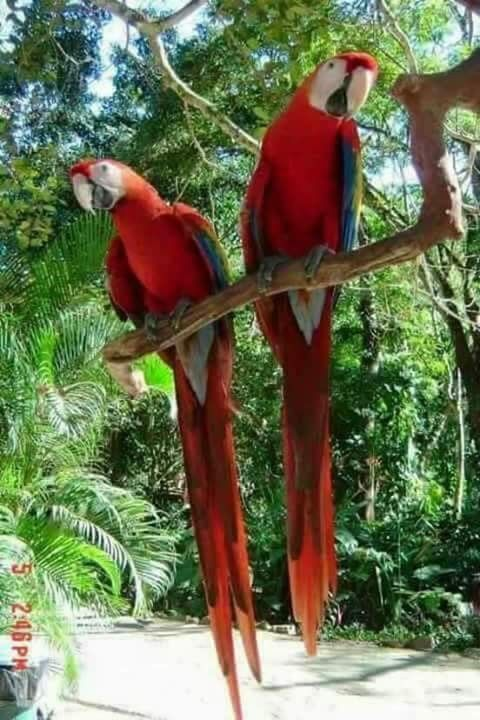Beautiful pair of scarlet macaws.