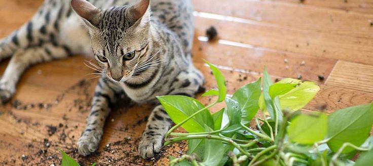 savannah cats, savannah cat, savannahs, f1 savannah cat, f2 savannah cat, f3 savannah cat, f4 savannah cat, f5 savannah cat, exotic looking cats, savannah cat pricing, hybrid cat breeds, cats, cat nutrition, cat training http://f3savannahcat.com/