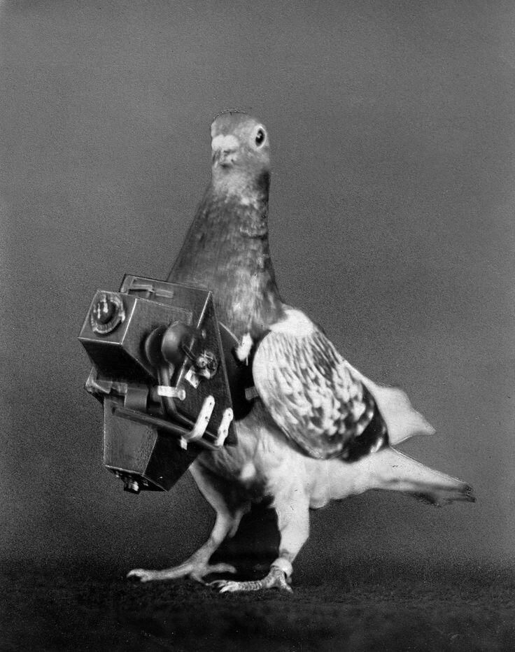 1908, Pigeons were fitted with cameras to take aerial photos. Photograph by Roger Viollet.