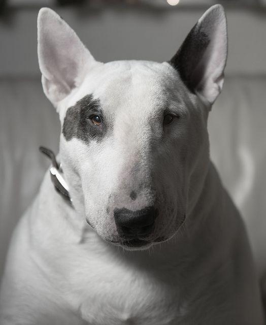 812 best bull terrier images on Pinterest | English bull terriers ...