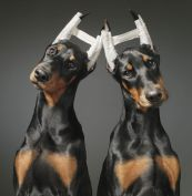 This pair of Doberman Pinschers are having their ears 'trained' to stick up by bandaging them to posts. That's the way American Doberman breeders have traditionally liked them to look – and to achieve this look, the ears are cropped (trimmed) and set in the upright position for a month or so. American Doberman owners will also have their dogs tails docked too. This means their tails are cut right back shortly after birth.