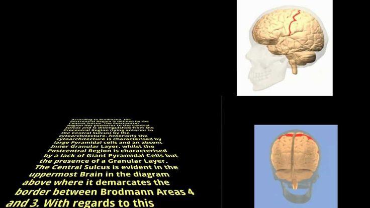 Brodmann Area 1 - Somatosensory Cortex