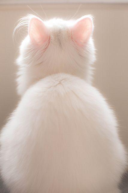 Que belleza de gato blanco con sus orejitas rosadas