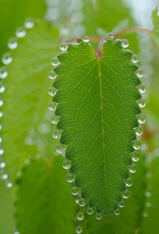 Guttation is the exudation of tiny drops of sap that accumulate on the tips or edges of leaves and acts as a release valve for excess water pushed up from the roots. #Plant_Physiology #Guttation