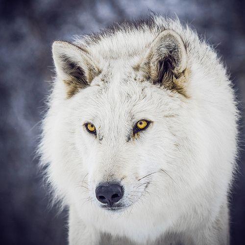 | Maya Favnir | 8c79ff28ebb5af9fa7293ddb22be41ec--yellow-eyes-wolf-eyes