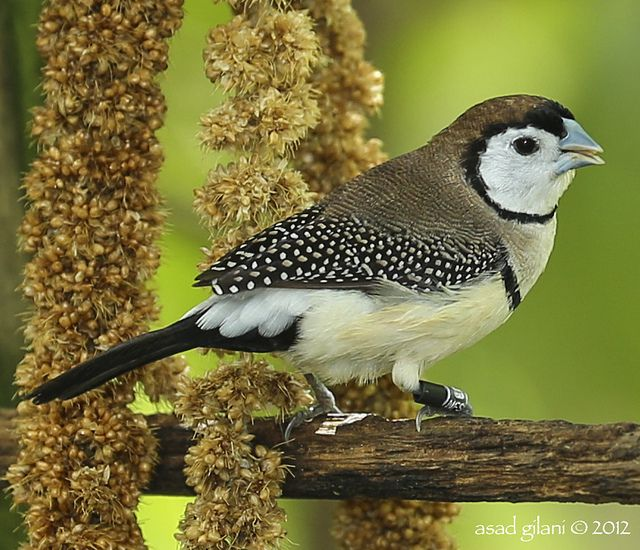 Owl Finch also known as Double-barred finch and Bicheno's Finch