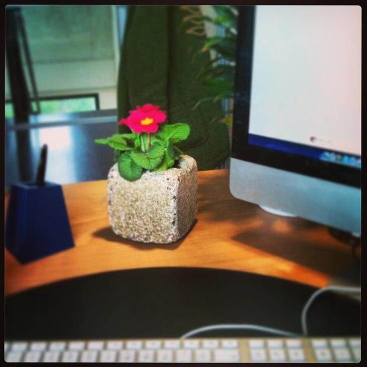 In un ufficio moderno, la primula dà il tocco femminile e si respira aria di primavera.