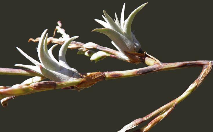 Bromeliads in Australia ~ MIMA CHILITENSIS