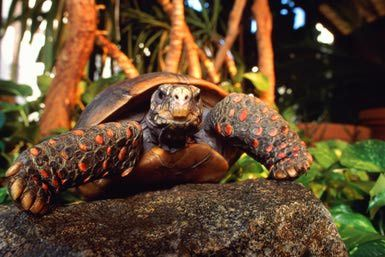 Did you know: not all species of tortoise hibernate! Here's one that doesn't: the red footed tortoise