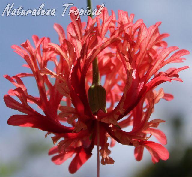 Detalles de los pétalos multilobulados del arbusto trepador Hibiscus schizopetalus