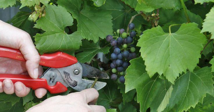 Wie im Weinbau ist es auch im Hausgarten ratsam, Weinreben im Sommer zu schneiden. Hier erklären wir Ihnen die richtige Schnitttechnik.