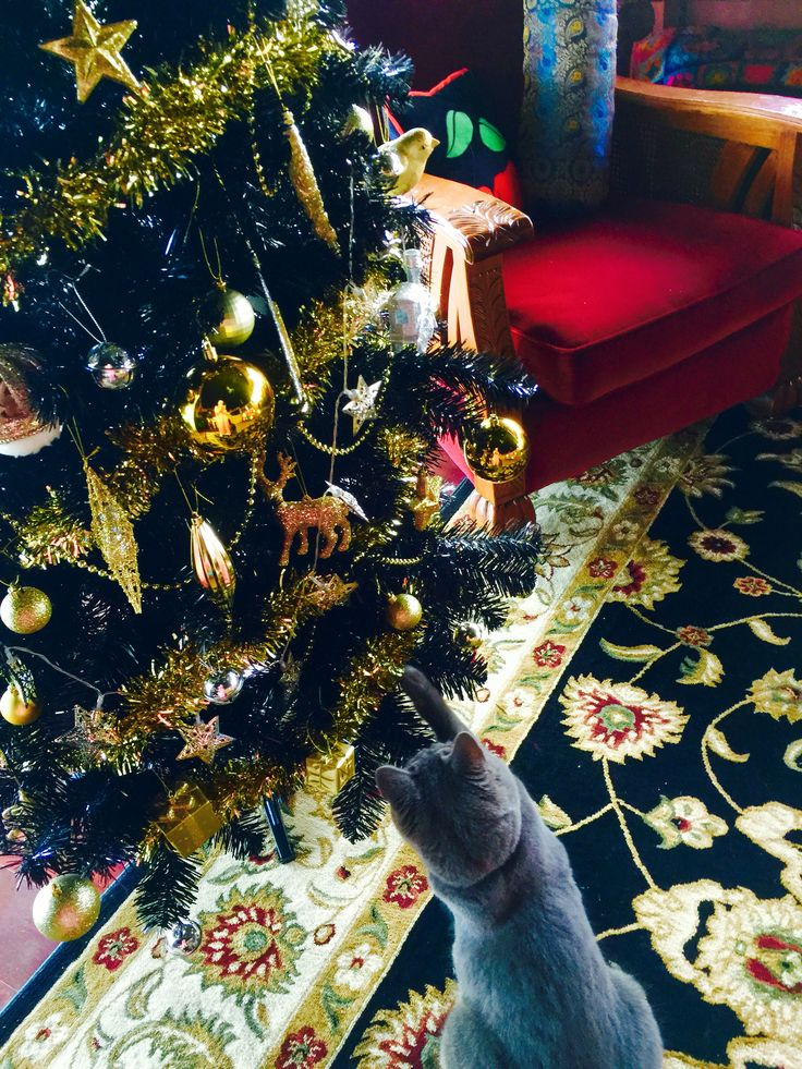 Black and gold tree this year. Stormy Blue loves the baubles.