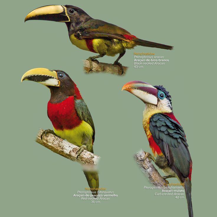 Aves da Amazonia: Poster de Aves da Amazônia