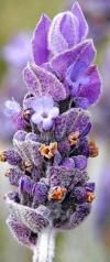 Lavandula pinnata Green French Lavender | Fern Leaf Lavender | Plants For Sale South Africa | Plants in Stock