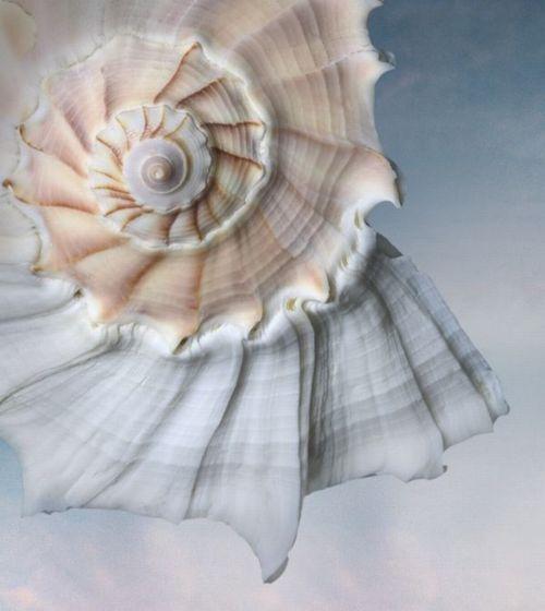 lightning whelk shell: Spirals, Sea Shells, Seashore, Nature, Color, Joyce Tenneson, Beach, Sea Shore