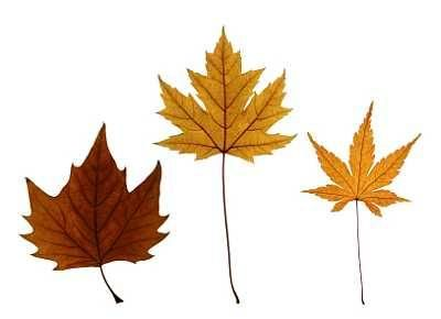 How to Identify Maple Tree Varieties