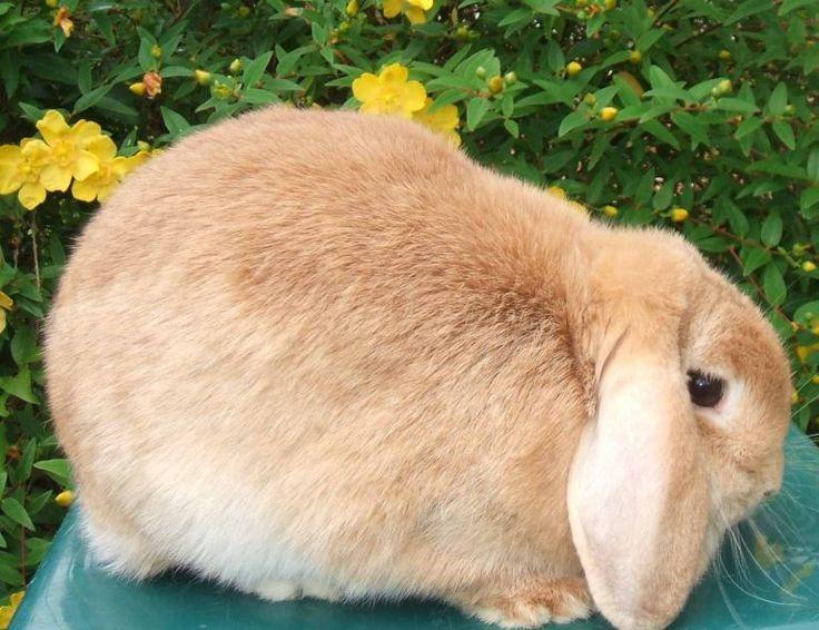 Dwarf baby bunnies price dwarf bunnies for sale in 2020