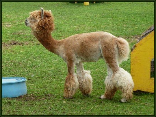 Best 25 Shaved Alpaca Ideas On Pinterest Shaved Llama