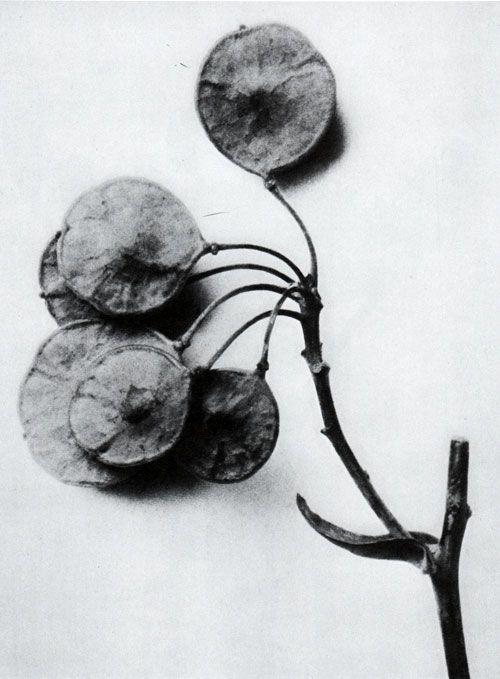 Karl Blossfeldt (1865-1932) botanical fine art photographer - Ptelea trifoliata