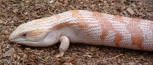 Albino Blue Tongue Skink