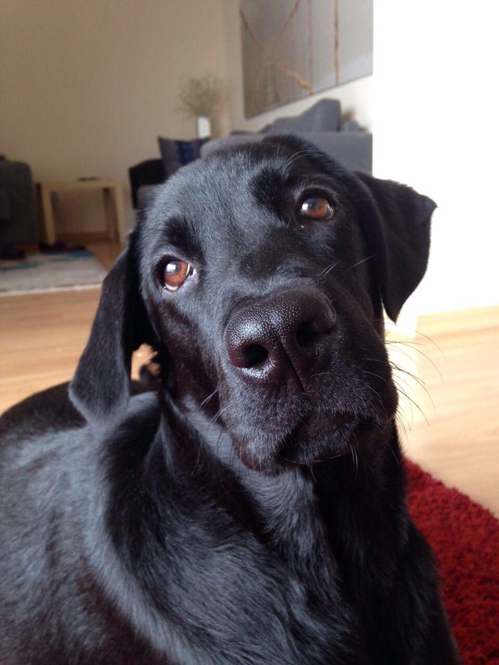 Labrador sista