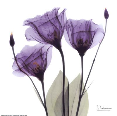 Royal Purple Gentian Trio  by Albert Koetsier  Combining science with art, the X-rayography of Albert Koetsier reveals the beauty in nature we do not see, the hidden beauty that lies within. To create his signature style of nature photography, Koetsier thoughtfully composes his subjects, then takes the negative image captured by the x-ray and makes a positive, often adding color using the same translucent paints used over a century ago on daguerreotypes and postcards.