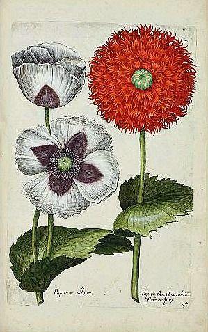 Johann Theodor de Bry and Giovanni Battista Ferrari   Poppies  17th centuryVia: All things Nancy loves