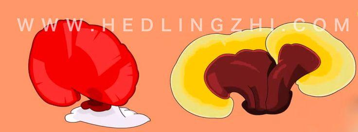 เห็ดหลินจือแดง สรรพคุณรักษาโรค: แพทย์ทางเลือกกับเห็ดหลินจือแดง
