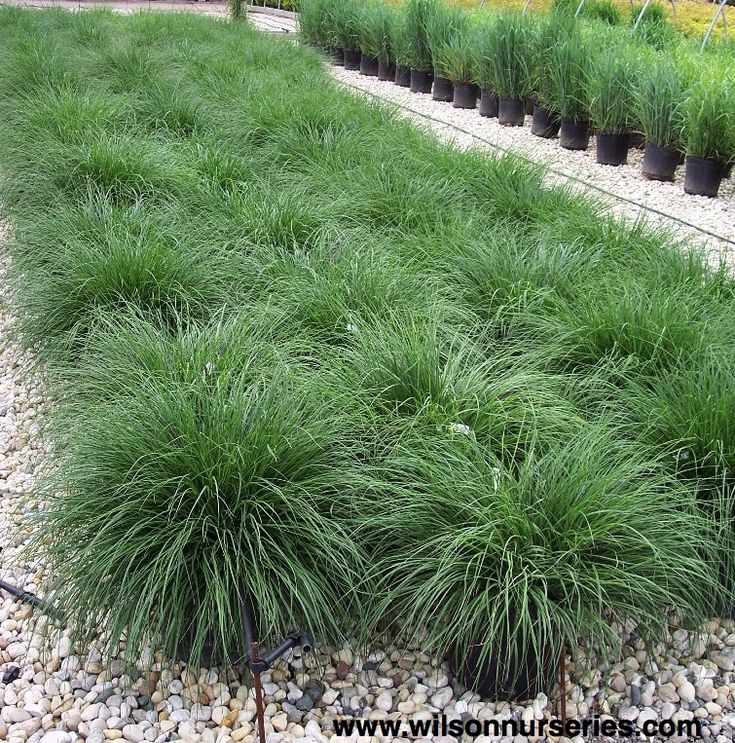 54 best ornamental grasses images on pinterest for Blue fountain grass
