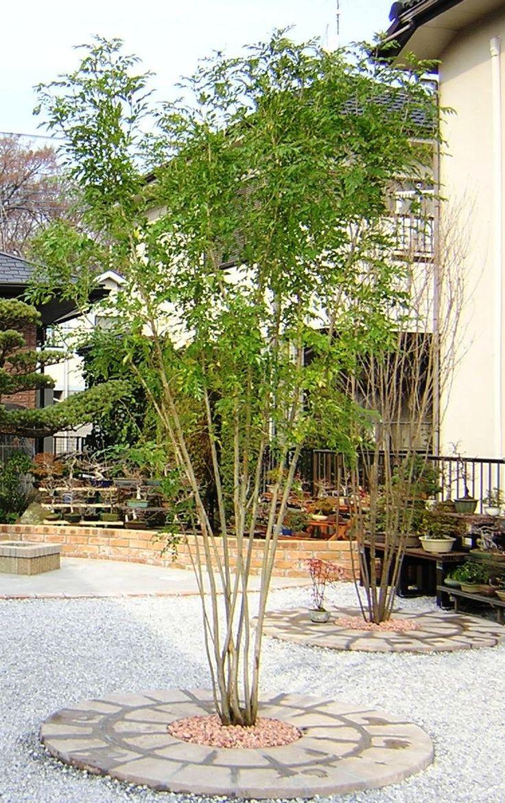 シマトネリコ 常緑樹 さいたま市のエクステリア・外構工事 わかばガーデン